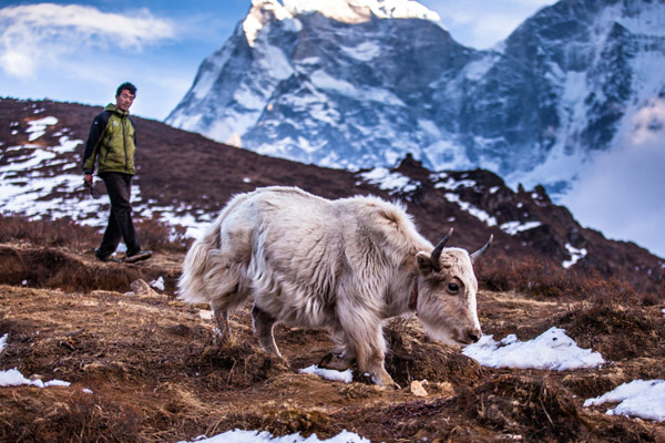 Man and mountain goat hikinh in Phortse Village, Khumbu Valley, Nepal