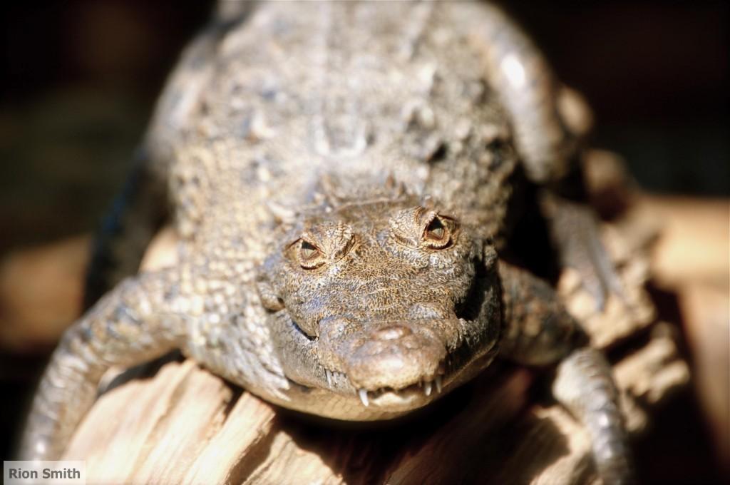 Alligator in Guatemala
