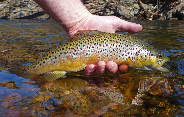 Picture of a rainbow trout caught on the river in Denver, Colorado.