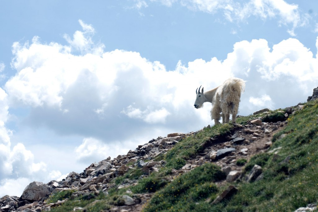 Mountain goat in Colorado photographed by Daniel Madson