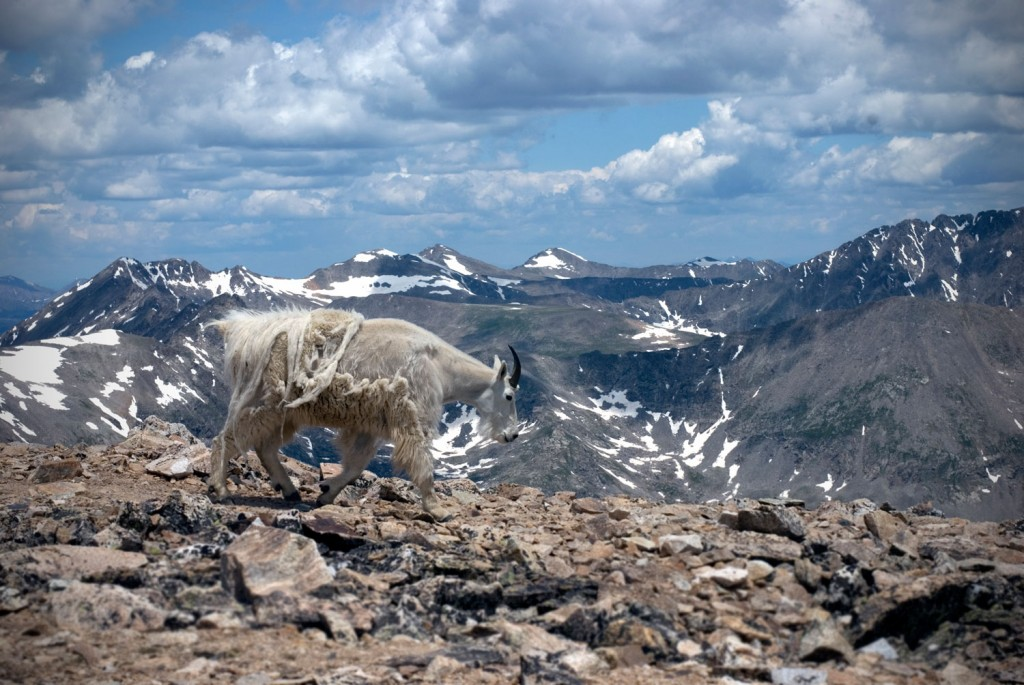 mountain goat on top of mt. democrat in Colorado