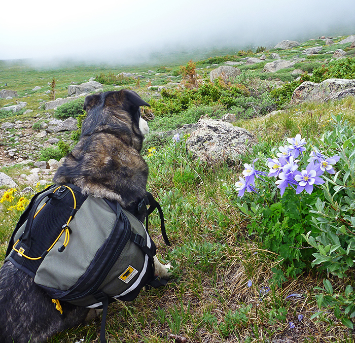 Mountainsmith Ambassador Jonathan Hill's dog pictured in a high alpine field wearing the Mountainsmith K-9 Dog Pack.