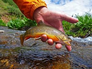 brook trout in colorado