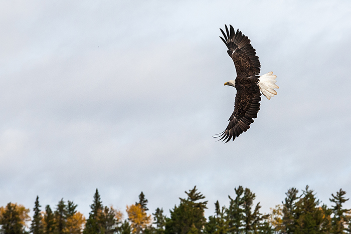 American Bald Eagle Flying in the Boundary Waters Canoe Area of Minnesota