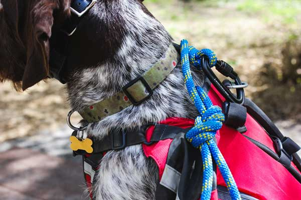 Dog wears name tag and leash to prep for hike.