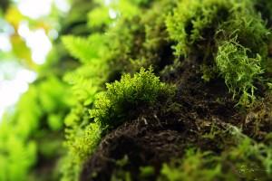 tiny fern in oregon