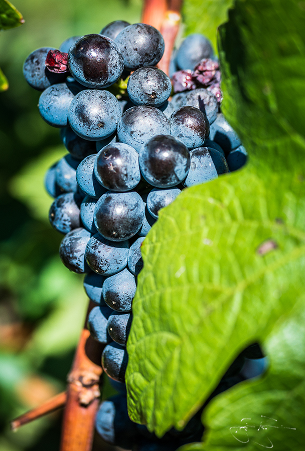 pinot noir grapes at willamette vineyards