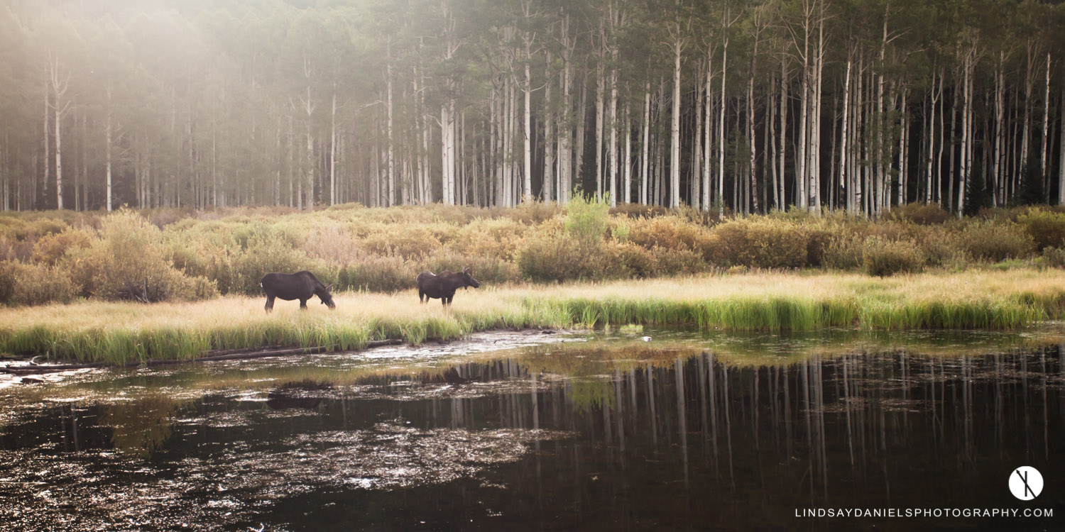 Moose at Willow Lake, Lindsay Daniels Photography