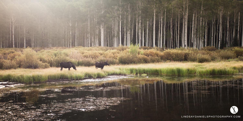Moose at Willow Lake, Lindsay Daniels Photography