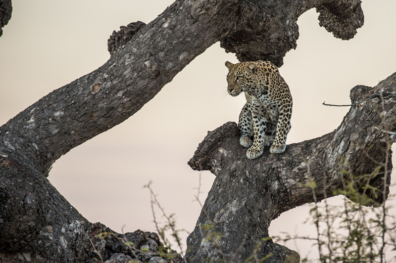 cheetah in a tree in Kruger National Park in South Africa, Andy Mann photo
