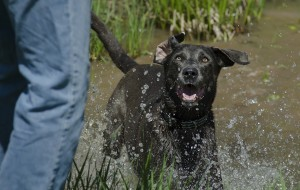 Mya the black lab fetches sticks in a pond
