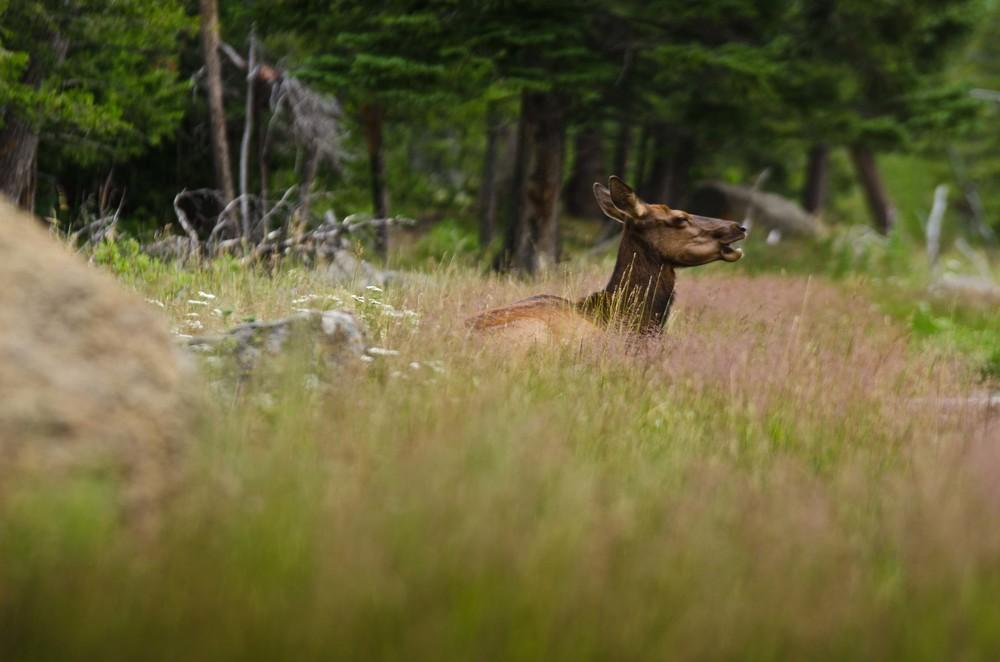 deer at yosemite valley