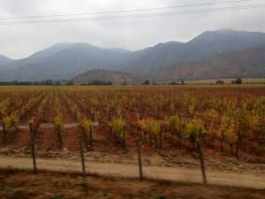 Chilean Vinyard
