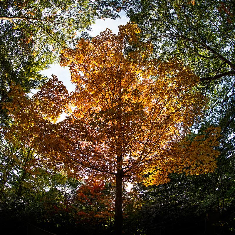 Beautiful yellow and orange autumn tree in Massachusetts